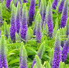 Veronica spicata Royal Candles ('Glory') (PBR) (speedwell)