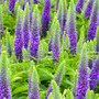 Veronica spicata Royal Candles ('Glory') (PBR) (speedwell)