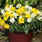 Wallflower Citrus Burst 50 Plants + 20 FREE