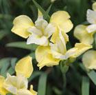 Iris sibirica 'Butter and Sugar' (Siberian iris)