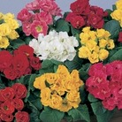 Primrose Rosebud 50 Plants + 20 FREE