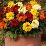 Wallflower Fortune 50 Plants + 20 FREE