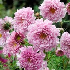 Cosmea Rose Bonbon Seeds