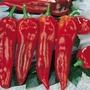 Pepper Corno di toro rosso Seeds