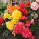 Begonia Plants - F1 Nonstop Mix
