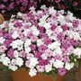 Impatiens (Busy Lizzie) Fanciful Sweetheart Plants