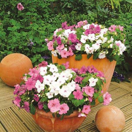 Impatiens Merlot Mix Plants