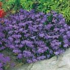 Lobelia Plants - Crystal Palace