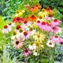 Echinacea Plants - Paradiso