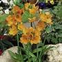 Ornithogalum Sunshine Plants