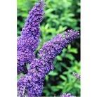 Buddleia (Butterfly Bush) Purple x 1 litre pot