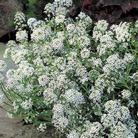Alyssum Perfume Petals Seeds