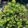 Bupleurum Chatterbox Seeds