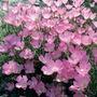 Clarkia Lilac Pixie Seeds