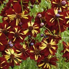 Coreopsis Roulette Seeds