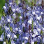 Linaria Moon River Seeds