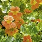 Nasturtium Saucy Rascal Seeds