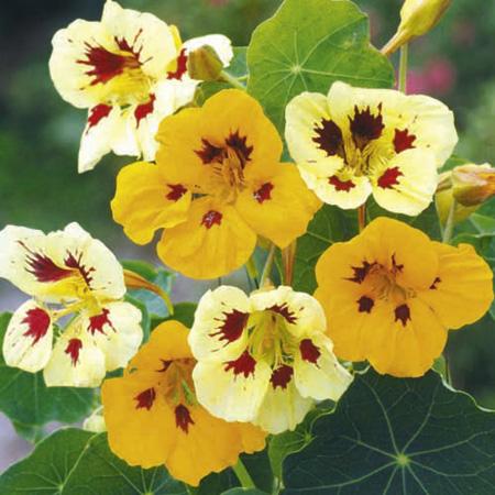 Nasturtium Ladybird Mix Seeds