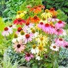 Rudbeckia Paradiso Seeds