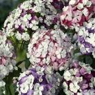 Sweet William Kaleidoscope Seed Mix