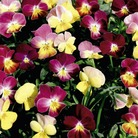 Viola Hollywood Honeys Seeds