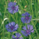 Field Cornflower Seeds