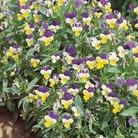 Wild Pansy Seeds