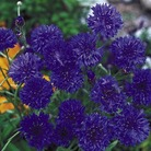 Cornflower Blue Boy Seeds
