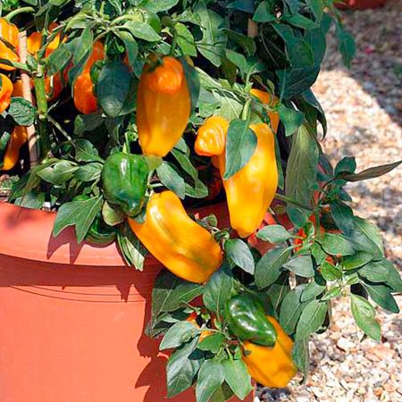 Pepper Sweet F1 Mohawk Seeds