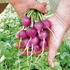 Radish Viola Seeds