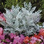 Cineraria Silver Dust Plants