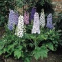 Delphinium Plants - Magic Fountains