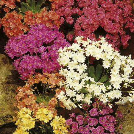 Lewisia Plants - Elsie Mix