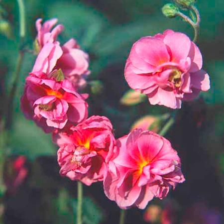 Helianthemum Rose of Leeswood Plants