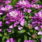Iberis Absolutely Amethyst Plants