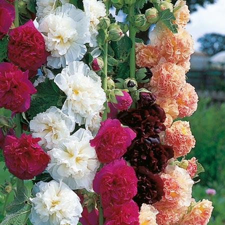 Hollyhock Plants - Spring Celebrities
