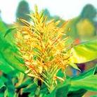 Hedychium Root - gardnerianum