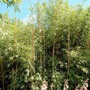Fargesia scabrida Asian Wonder (Bamboo)