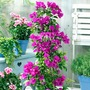 Bougainvillea White Pyramid