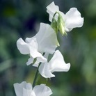 New 2011 Sweet Pea Seeds Collection