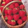 Strawberry Plant Duo Pack