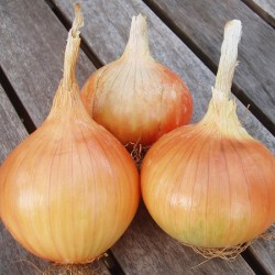 Radar Onion Sets (Autumn Planting)