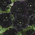 Petunia Black Velvet x15 Plants*