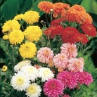 Early Decorative Spray Chrysanthemum*  BUY 2 GET 1 FREE