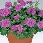 Geranium Ivy Leaf x15 Plants*