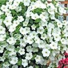 Petunia Surfinia* BUY 2 GET 1 FREE