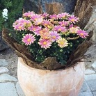 Osteospermum Sunny Selection*BUY 2 GET 1 FREE