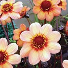 Dahlia Dark Leaved Collection* BUY 2 GET 1 FREE