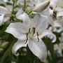Lilium 'Casa Blanca' (oriental lily bulb)