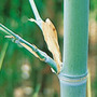 Phyllostachys glauca (bamboo)